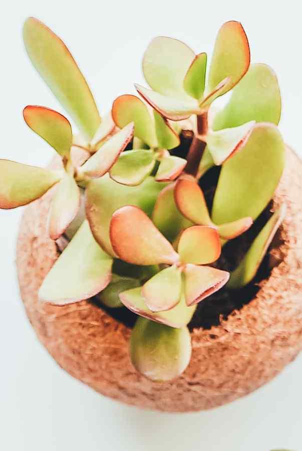 fast growing indoor plants - jade plant