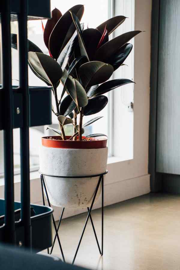 fast growing indoor plants - rubber plant