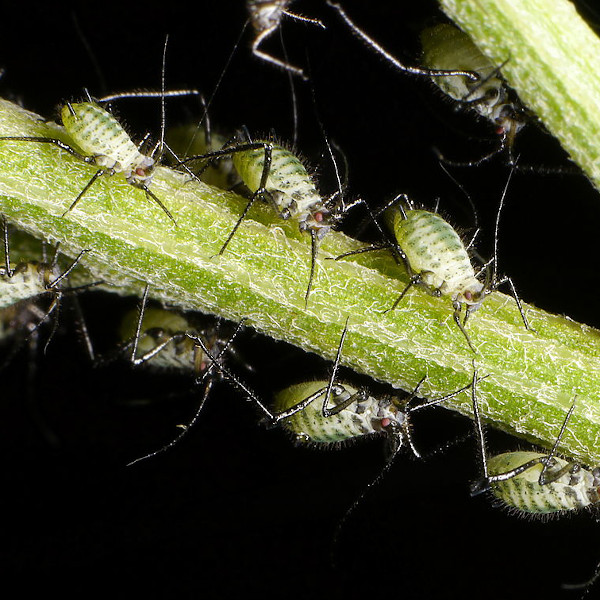 Common houseplant pests - Aphid