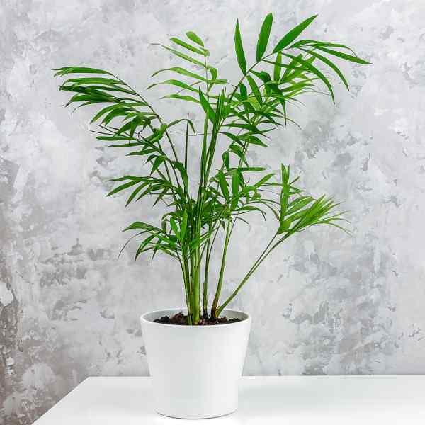 indoor palm tree care - cascade palm