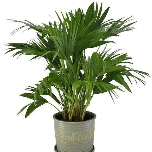 indoor palm tree care - chinese fan palm