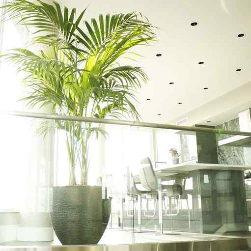 indoor palm tree care - kentia palm