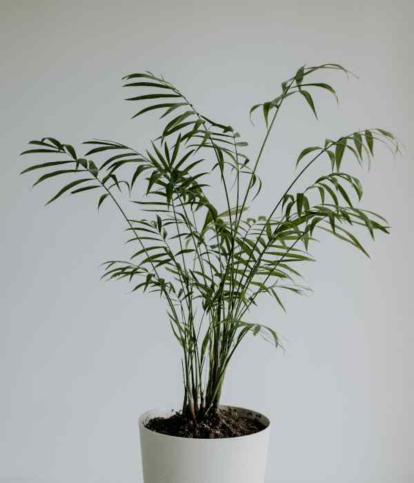 indoor palm tree care - parlor palm