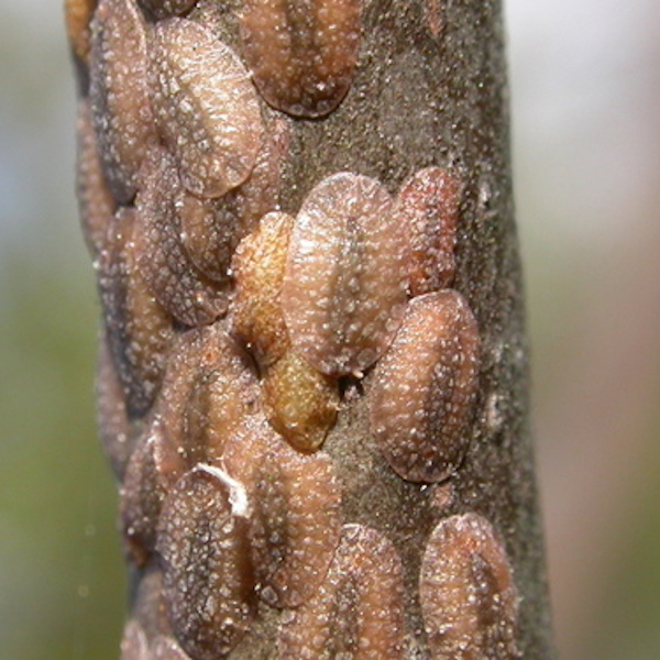 Indoor plant bugs - Scale insect