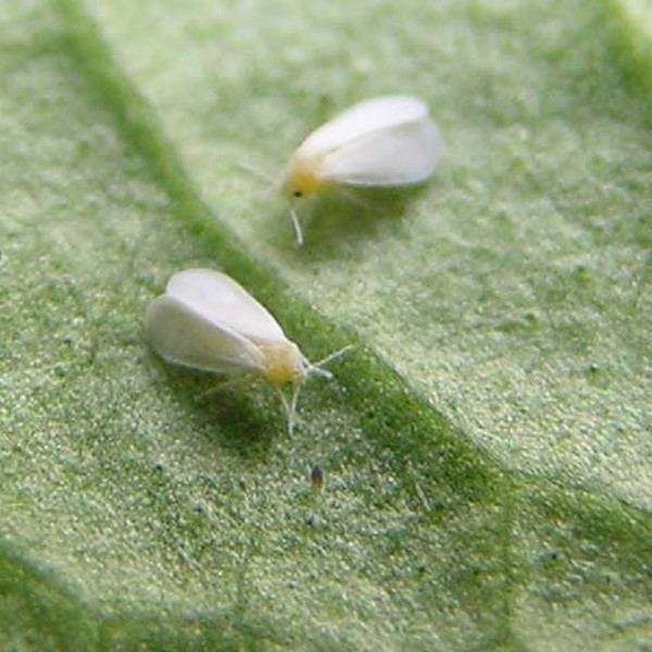 Indoor plant bugs - Whitefly