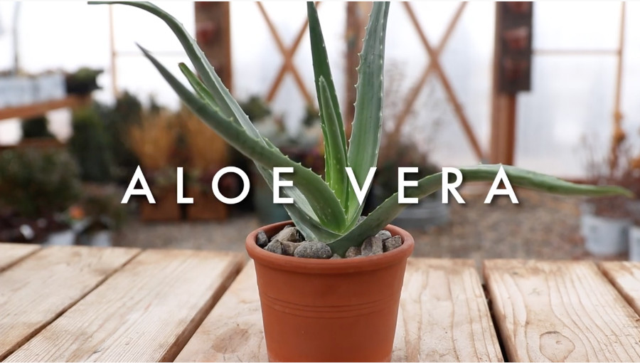 Indoor succulents for beginners - aloe vera