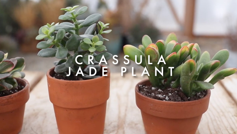 Indoor succulents for beginners - jade plant