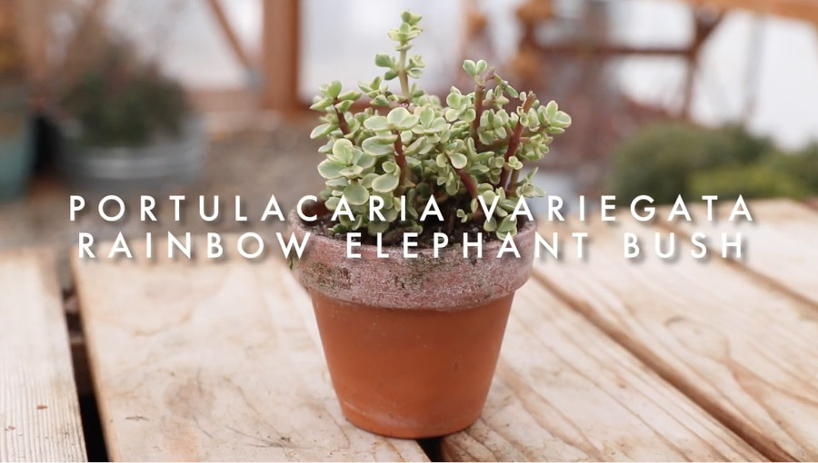 Indoor succulents for beginners - portulacaria