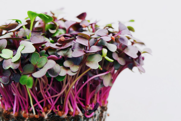 growing herbs indoors without sunlight - microgreens
